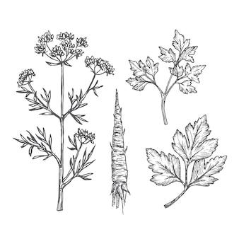 手描きのパセリの葉、枝、茎と根のイラストセット。抽象的な素朴なスケッチコレクション
