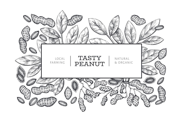 Hand drawn peanut branch and kernels  template. organic food  illustration on white background. vintage nut background. engraved style botanical picture.