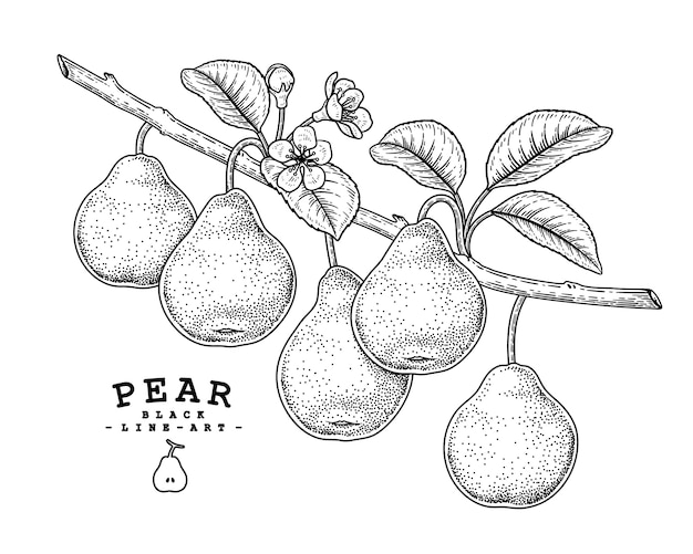 Hand drawn pear decorative set black line art retro style isolated on white backgrounds.