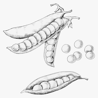 Hand drawn peas and pods