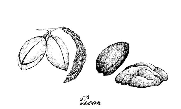 Hand drawn pecan nut illustration