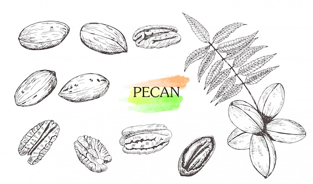 Hand drawn pecan nut set isolated on white background.