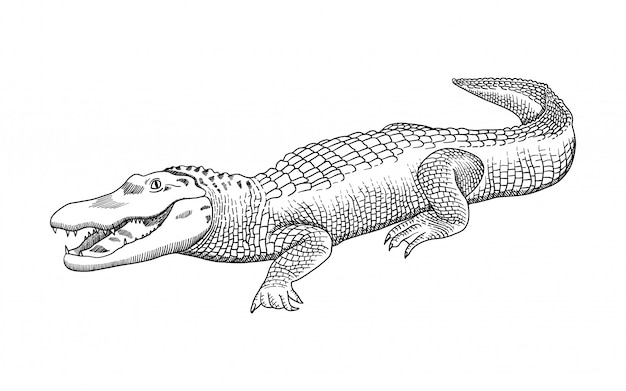 Hand drawn pencil graphics, crocodile, alligator, croc. engraving, stencil style.