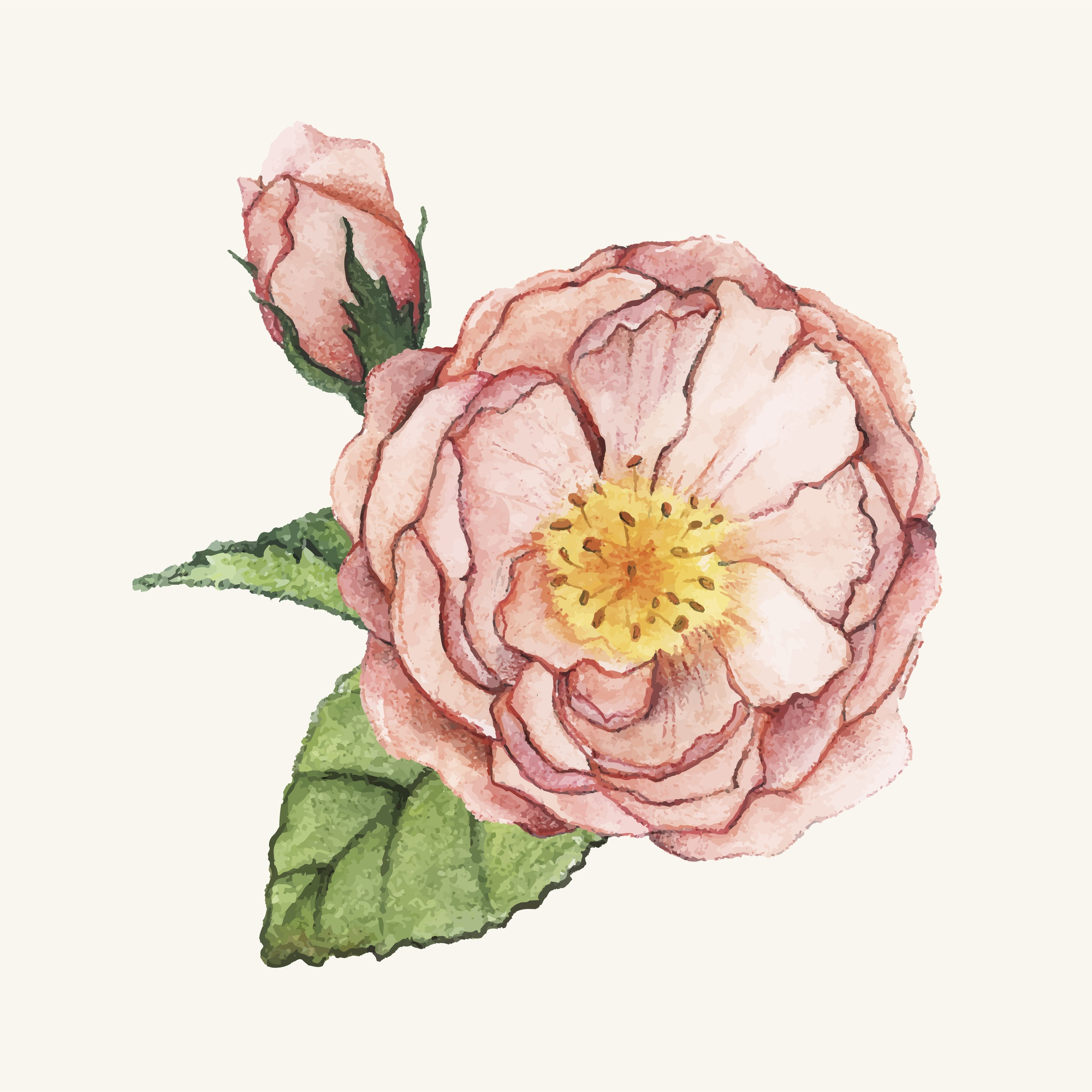 Hand drawn peony flower isolated
