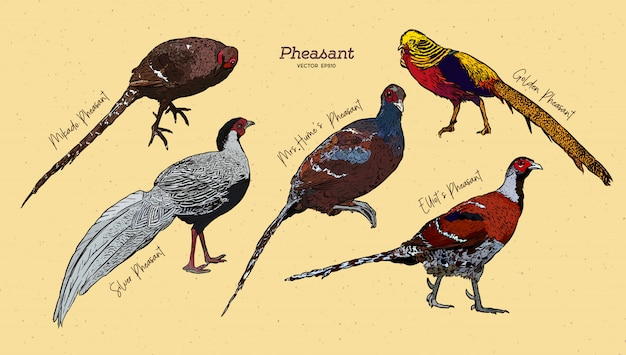 Hand drawn pheasant collection illustration