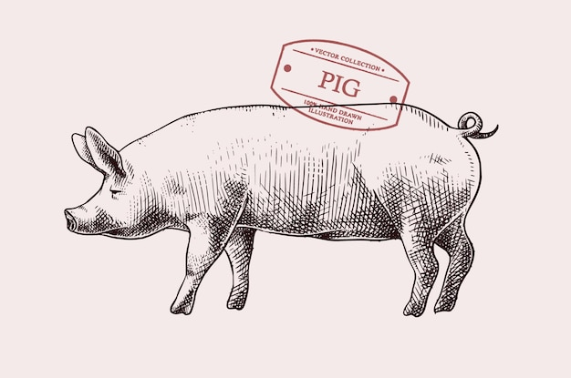 Hand drawn pig illustration with vintage style