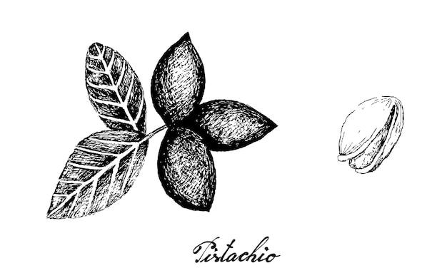 Hand drawn pistachio illustration