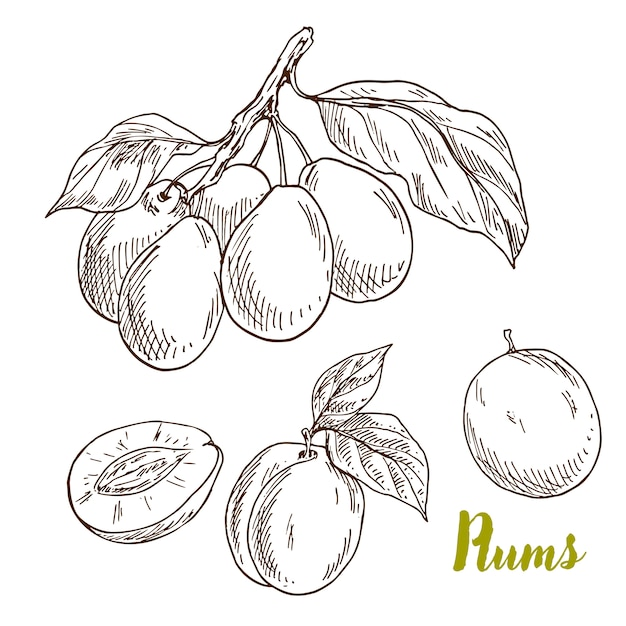 Hand drawn plums, branch with leaves