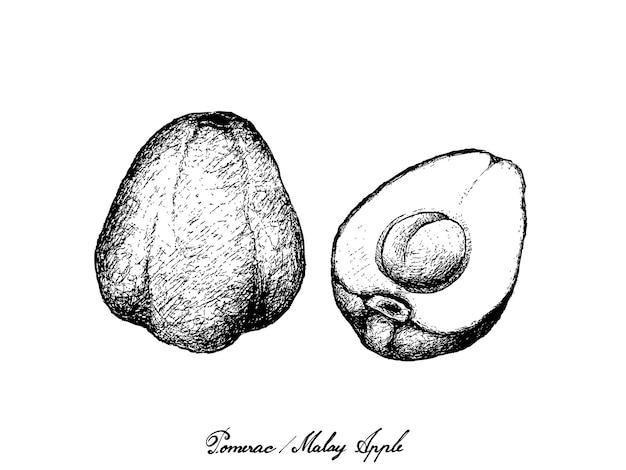Hand drawn of pomerac or malay apple
