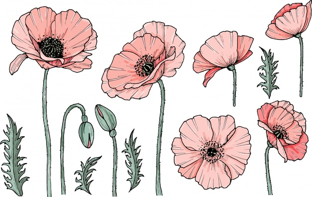 Hand drawn poppy flower. eps illustration. poppy drug icon. isolated on white background. doodle drawing. floral design. line-art