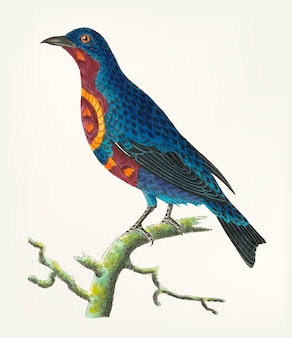 Hand drawn of purple breasted chatterer