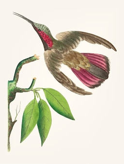 Hand drawn of purple tailed hummingbird