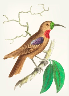 Hand drawn of purple-throated creeper