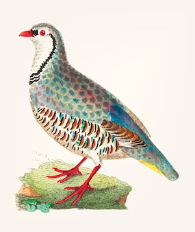 Hand drawn red partridge