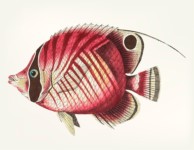Hand drawn of red striped chaetodon
