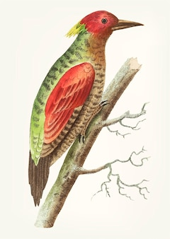 Hand drawn red-winged woodpecker
