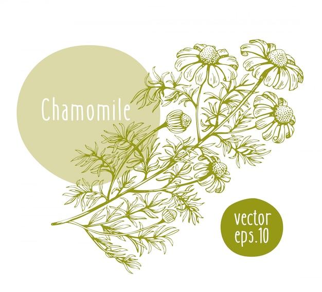 Hand drawn retro chamomile.