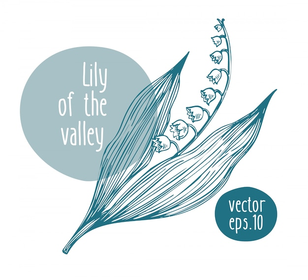 Hand drawn retro lily of the valley.