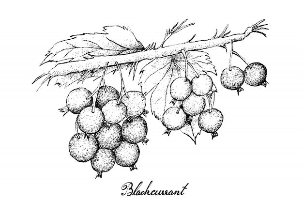 Hand drawn of ripe blackcurrants on white background