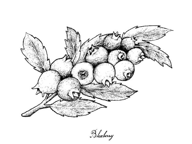 Hand drawn of ripe blueberries