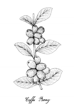 Hand drawn of ripe coffee berries on branch