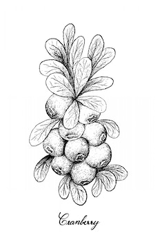 Hand drawn of ripe cranberries on white background