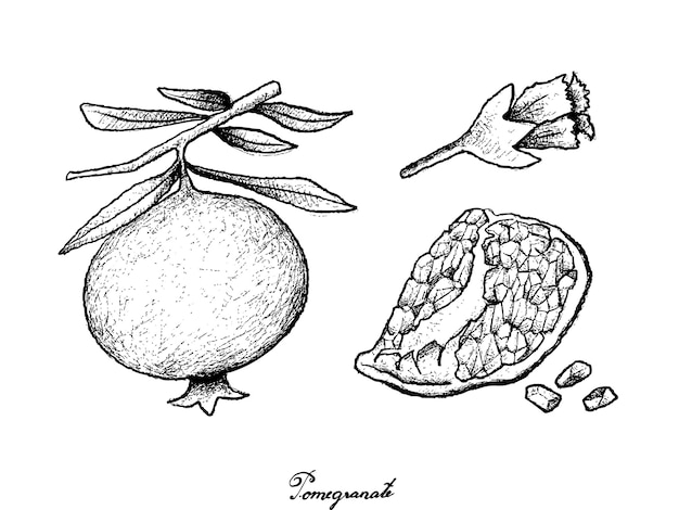 Hand drawn of ripe pomegranate