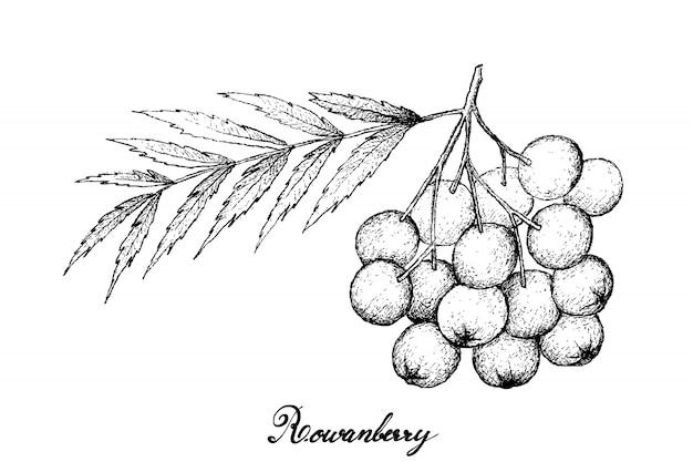 Hand drawn of ripe rowanberries on white background