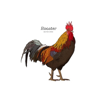 Hand drawn rooster, engraved style vector illustration.