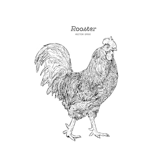 Hand drawn rooster isolated. engraved style vector illustration. template for your design