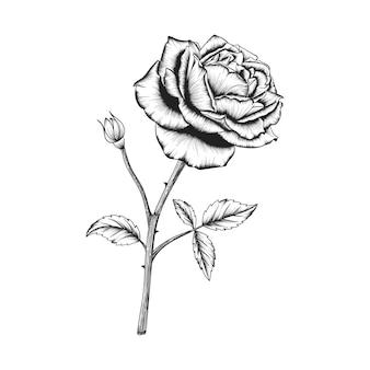손으로 그린 장미 꽃과 잎 그림 흰색 절연 그리기.