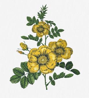 Рисованные розы. ботаническое растение иллюстрации.