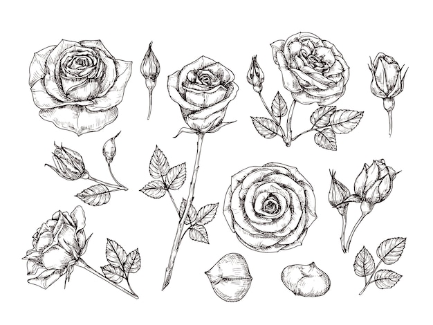 手描きのバラ。いばらと葉でバラの花をスケッチします。植物分離セットをエッチング黒と白のビンテージ