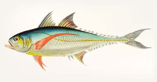 Hand drawn of rottlerian mackerel