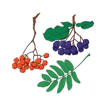 Hand drawn rowan and chokeberry berries and leaves