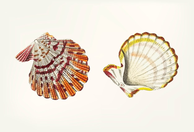 Hand drawn of scallop shell