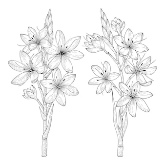 Hand drawn schizostylis flowers drawing illustration.