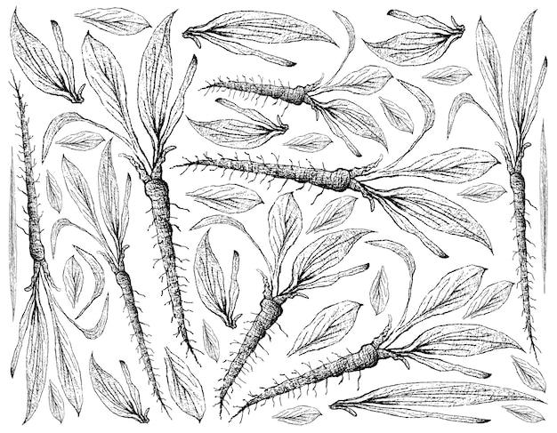 Hand drawn of scorzonera on white background