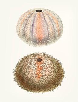 Hand drawn of sea urchin