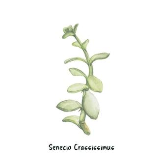 Hand drawn senecio crassissimus humbert succulent