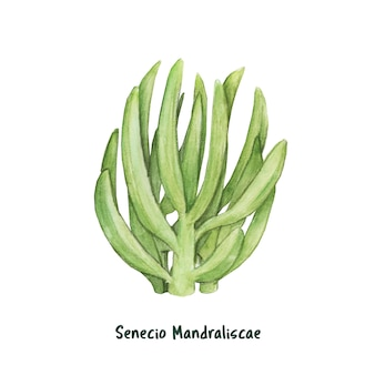 Hand drawn senecio mandraliscae succulent