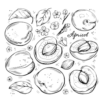 Набор рисованной абрикосов на белом фоне изолированных.