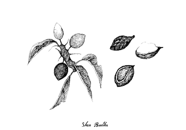 Hand drawn of shea butter fruits on white background