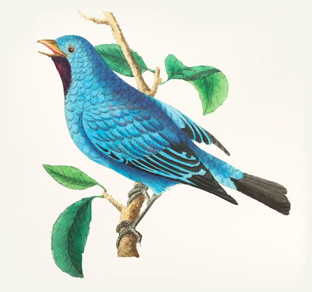 Hand drawn of silken-feathered chatterer
