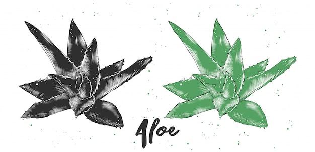 Hand drawn sketch of aloe vera