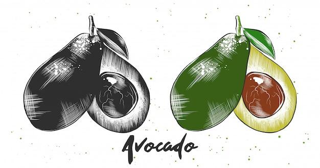 Hand drawn sketch of avocado