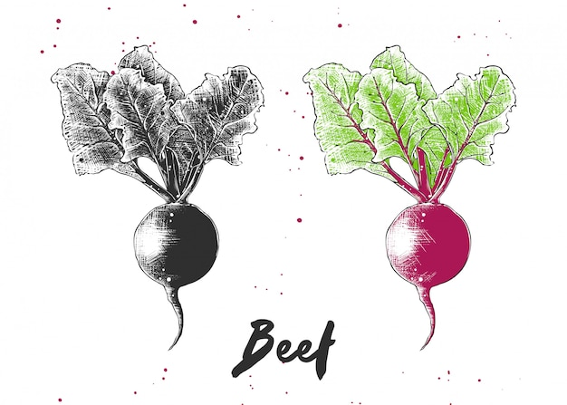 Hand drawn sketch of beet