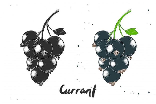 Hand drawn sketch of black currant