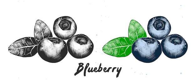 Hand drawn sketch of blueberry