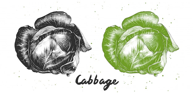 Hand drawn sketch of cabbage
